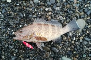 2018.08.05  釣行記23 ショアジギでレアキャラ